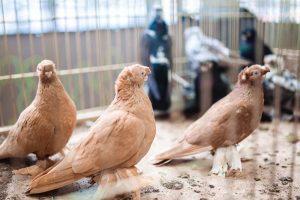 выставка голубей украина